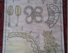 Tavola botanica cod 88